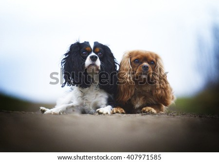 beautiful, young, healthy, happy, cheerful, funny, funny two Cavalier King Charles Spaniel dog or puppy lying next to each other on a dirt road, spring season, games, socializing,