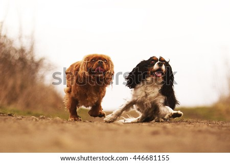 beautiful, young, healthy, happy, cheerful, funny, funny two Cavalier King Charles Spaniel dog or puppy flies, runs and jumps on a dirt road, spring season, games, socializing, walking, training,