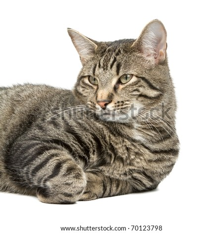 Beautiful Young House Cat Isolated on a White Background