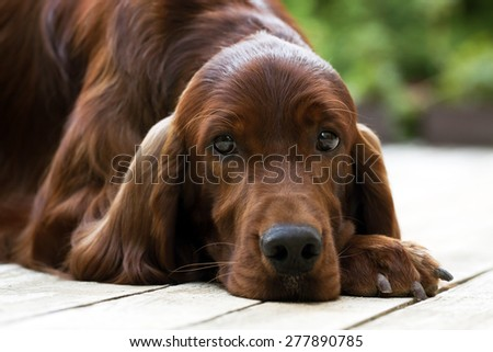 Beautiful young Irish Setter looking - stock photo