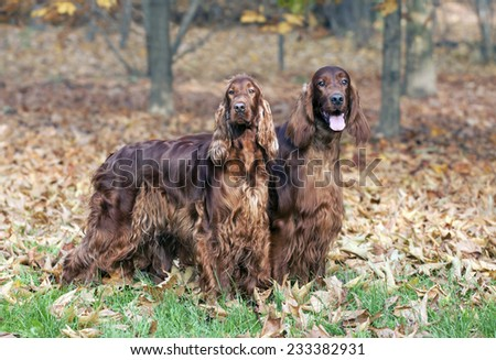 Beautiful young Irish Setter pair looking in the autumn wood - stock photo