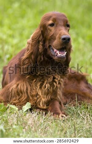 Beautiful young Irish Setter smiling - stock photo