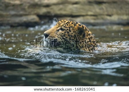 Beautiful Young Jaguar cat swimming in the water - stock photo