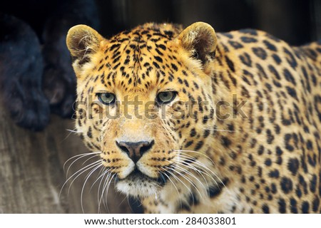 Beautiful young leopard - stock photo