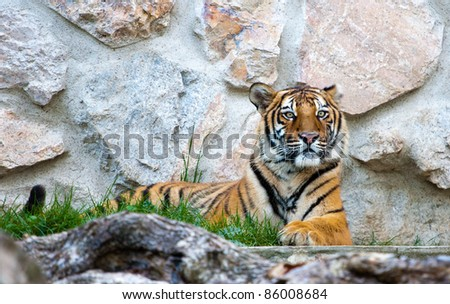 Beautiful young male tiger resting