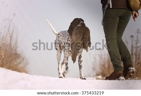 beautiful, young, obedient, trained and happy hunting dog breed Auvergne pointing dog carries in its mouth and running with the hare field, which bears his master - stock photo