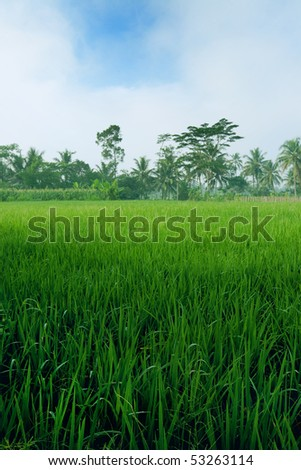 Beautiful young paddy growing in the field in Indonesia