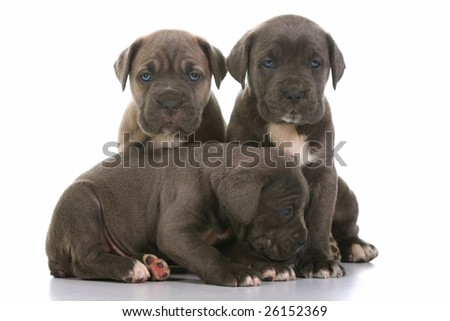 beautiful young puppy italian mastiff cane corso ( 5 weeks )