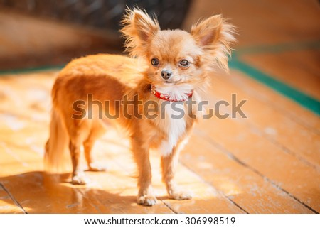 Beautiful Young Red Brown And White  Tiny Chihuahua Dog Staying On Wooden Floor