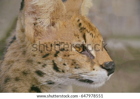 Beautiful young serval portrait close up