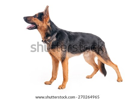 Beautiful young shepherd on a white background - stock photo