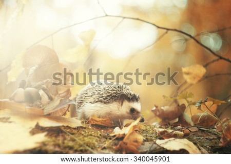 beautiful young small african pygmy hedgehog baby color : algerian black pinto in autumn forest with sunset - stock photo