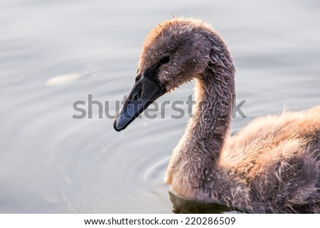 Beautiful young swan floating on the water surface - stock photo
