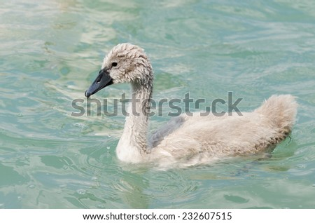 Beautiful young swan in lake - stock photo
