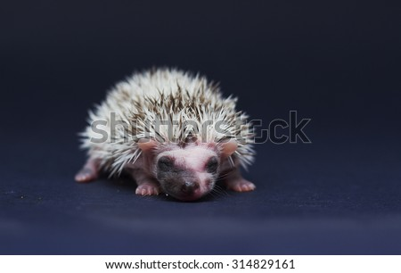 beautiful young sweet cute rodent african pygmy hedgehog baby color full blaze algerian chocolate pinto with white headspines - stock photo