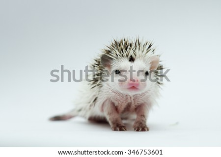 beautiful young sweet cute rodent african pygmy hedgehog baby color white face algerian dark grey pinto with white headspines - stock photo
