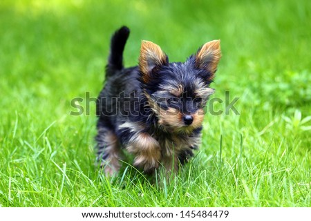 Beautiful Young Yorkshire Terrier is having fun  - stock photo