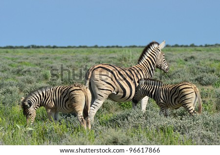 beautiful zebra with two young foals - stock photo