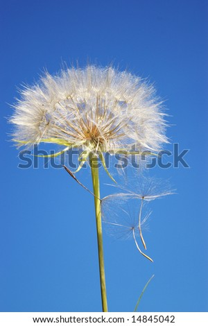 Beautifull blowball and seeds in blue sky