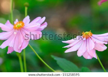 Beautifull delicate flowering aster with yellow and green centres and pretty pink lilac petals blowing and dancing  in the Autumn breeze.   - stock photo