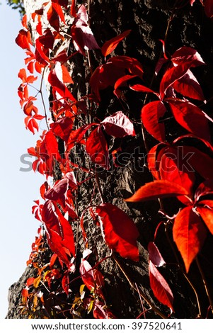 Beautifull red ivy on tree - stock photo