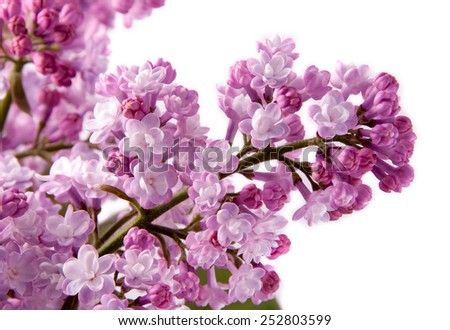 Beautifull violet bouquet of lillac with green leaves isolated on white - stock photo