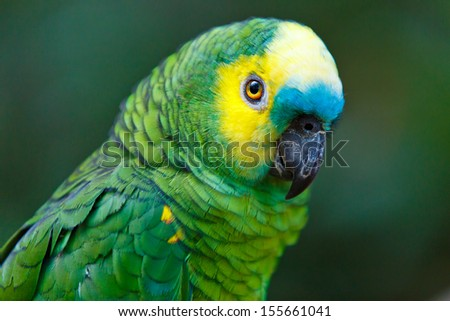 Beautifull vivid blue fronted green parrot in rainforest in Brazil with nice green bokeh in background.