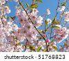 Beautifully blossoming cherry tree - stock photo