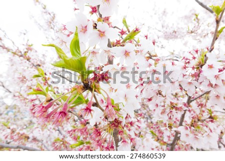 Beautifully cherry blossom