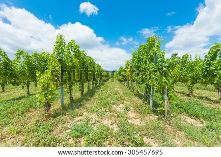 Beautifully cultivated grape vines in Hungary, Villany.