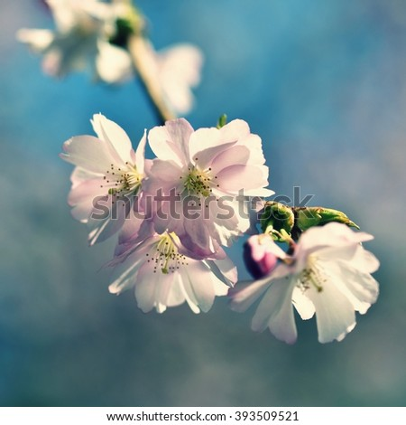 Beautifully flowering ornamental tree. White and pink blossoms with sunshine and blue skies. Nice seasonal nature blurred background in spring. Sakura tree (Prunus subhirtella) - stock photo
