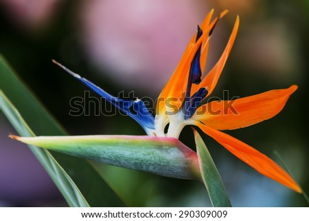 Beautifully strelitzia flower close up photography
