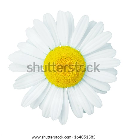 beauty camomile isolated on white - stock photo