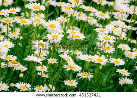 Beauty camomiles in the in the garden. - stock photo