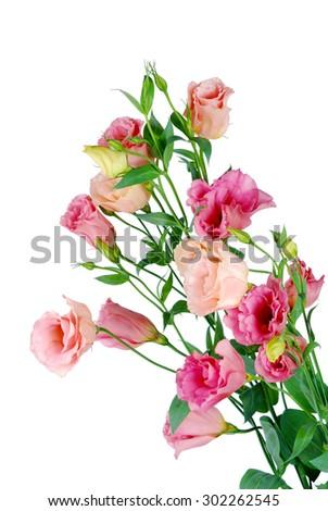 Beauty eustoma flowers isolated on white background - stock photo
