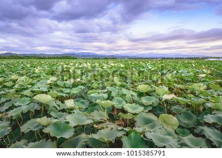 Beauty evening view lotus root field stock photo royalty free beauty evening view lotus root field mightylinksfo