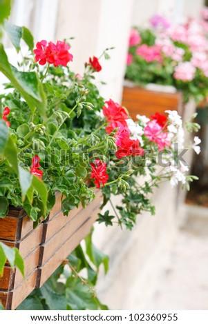 beauty geranium outdoor - stock photo