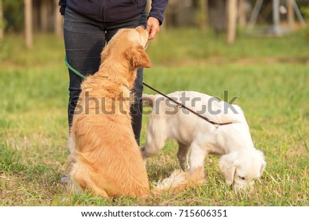 Beauty Golden retriever dog with owner in the park