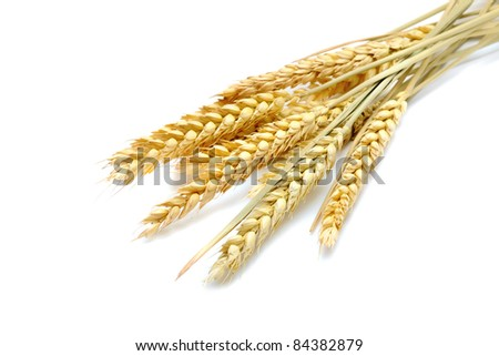 beauty golden wheat on the white background - stock photo