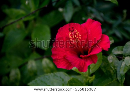 hibiscus flower stock images, royaltyfree images  vectors, Natural flower