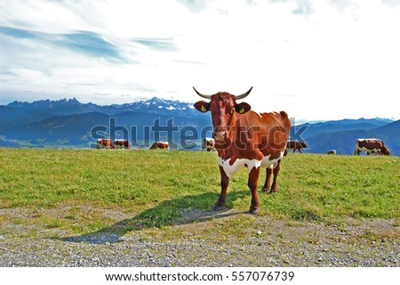 Beauty of nature, amazing alpine landscape with peaks covered with snow, blue sky, sunshine, cow grazing free