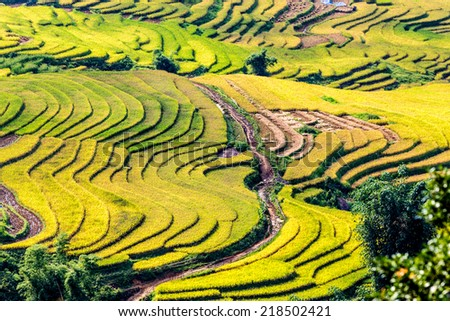 Beauty of ripen rice terraces at harvest time. Location: Y Ty, Lao Cai province, Vietnam.  - stock photo