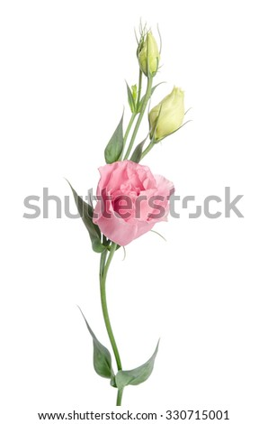 Beauty  pink flower with buds isolated on white. Eustoma - stock photo