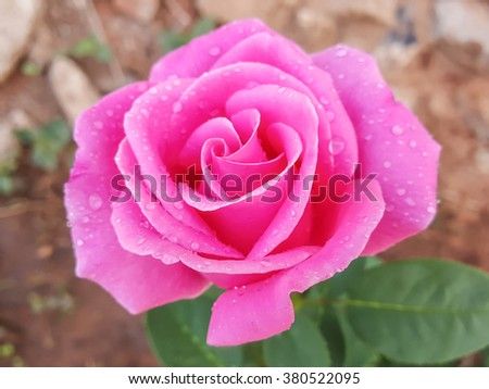 Beauty pink rose flower arts,filter image - stock photo