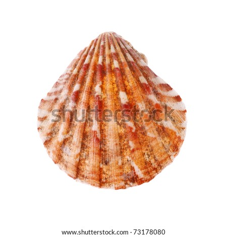beauty radial seashell isolated on white background - stock photo