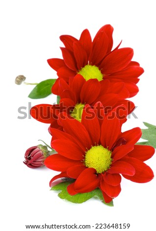 Beauty Red Daisy Chrysanthemum (Chrysantheme) with Leafs and Buds In a Row isolated on white background - stock photo