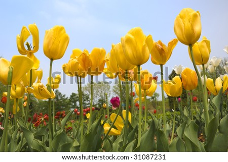 beauty red end yellow tulip flower with green leaves