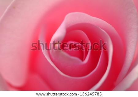 Beauty Rose flower - stock photo