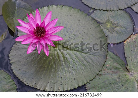 Beauty water lilly flower (Bong Sung) - stock photo