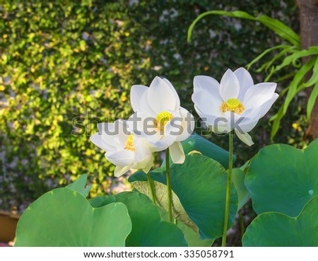 Beauty water lilly flower in garden - stock photo